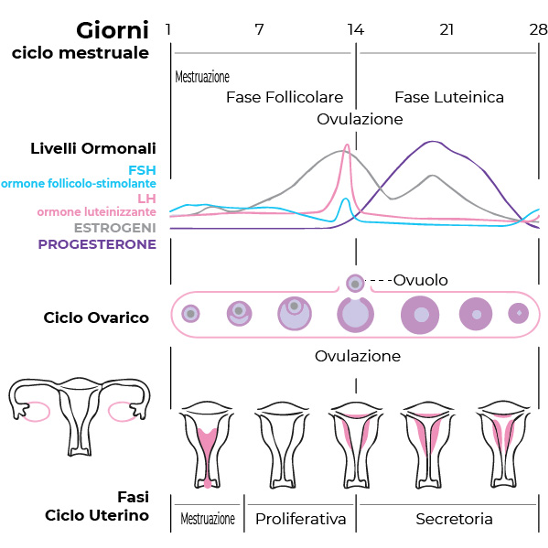 Le mestruazioni e le fasi del ciclo mestruale: la nostra ciclica ...
